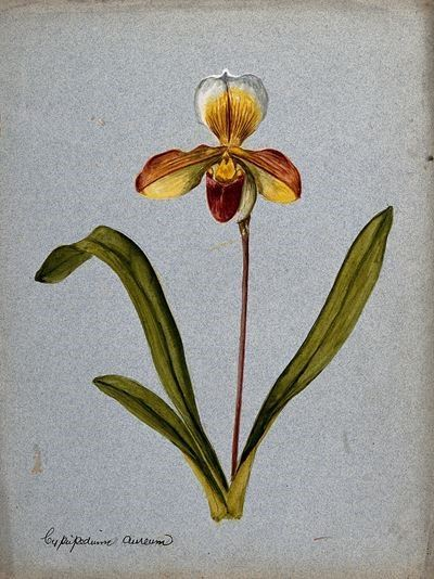 A Lady's Slipper Orchid (Cypripedium Aureum): Flowering Stem