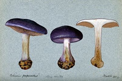 A Fungus (Cortinarius Purpurascens?): Three Fruiting Bodies, One Sectioned