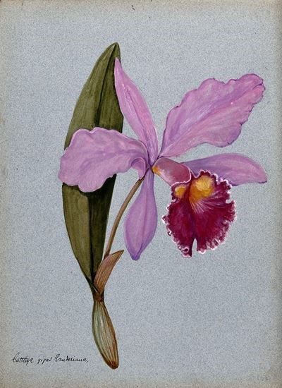 An Orchid (Cattleya Gigas Sauderiana): Flowering Stem