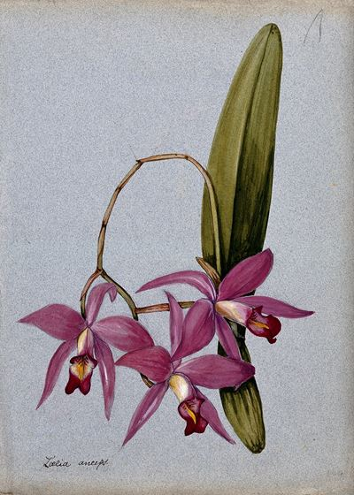 An Orchid (Laelia Anceps): Flowering Stem and Leaves