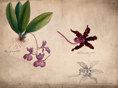 Two Orchids, a Whole Comparettia Species and Single Flowers of a Schomburgkia Species