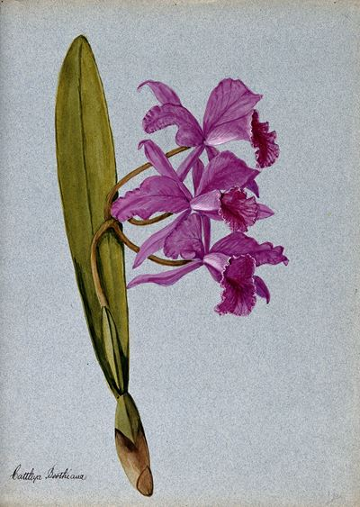 An Orchid (Cattleya Boothiana): Flowering Stem