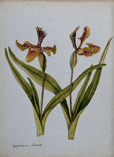 Lady's Slipper Orchids (Cypripedium Boxalli): Two Flowering Stems