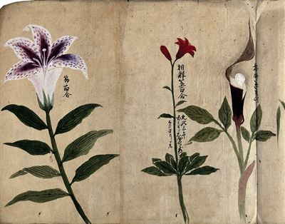 Three Flowering Plants, Possibly including a Lily and a Species of Dracunculus
